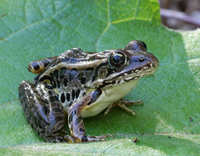 Pickerel Frog 003