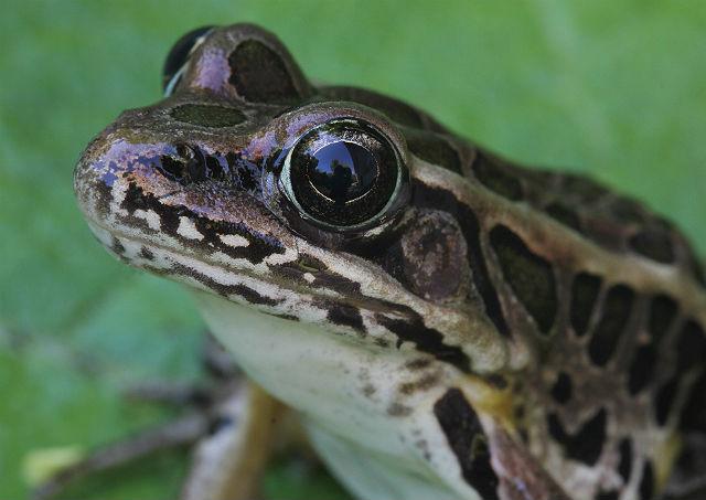 Pickerel Frog 004