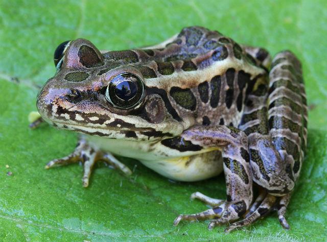 Pickerel Frog 007