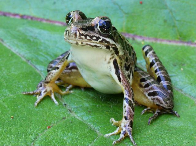 Pickerel Frog 010