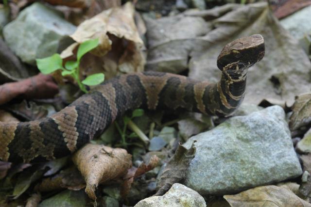 western cottonmouth_10_08sr 244