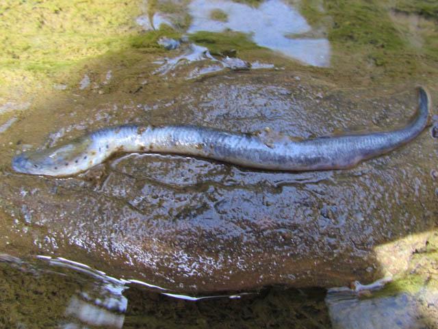 brook lamprey_3277