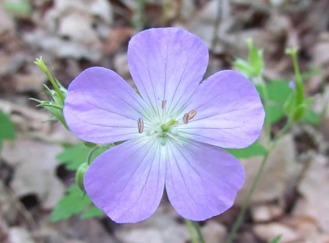 geranium_05_19 008