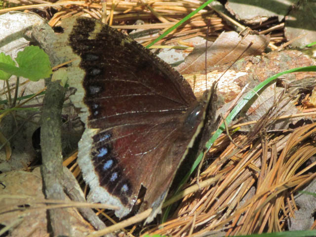 mourning cloak 025