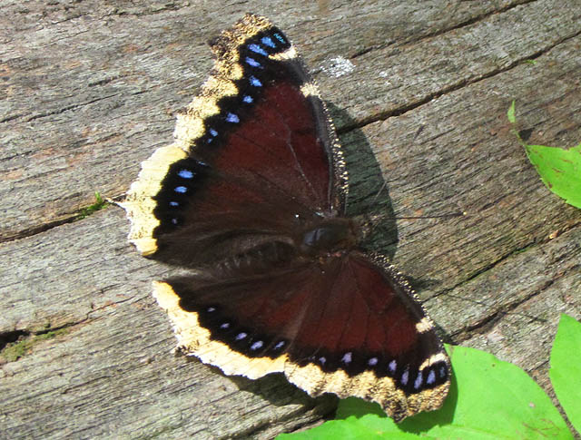 mourning cloak_8740