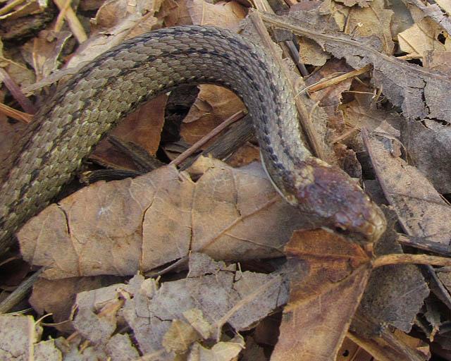 redbelly snake_3417