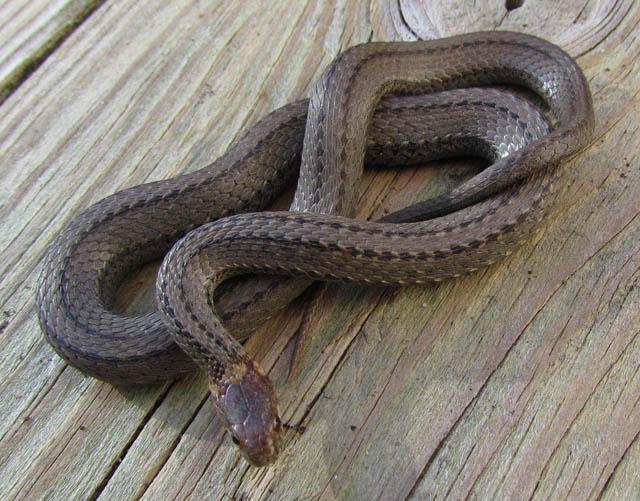 redbelly snake_3419