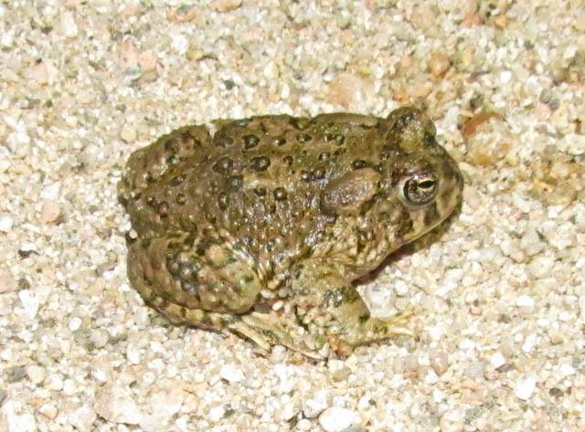 Arroyo Toad_6895