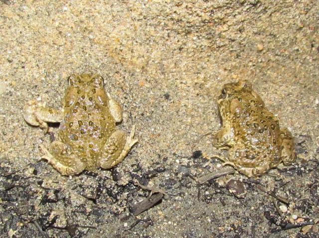 Arroyo Toad_6905