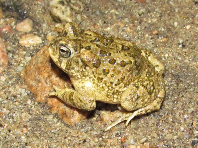 Arroyo Toad_6909