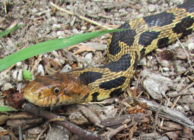 Eastern Fox Snake_6544