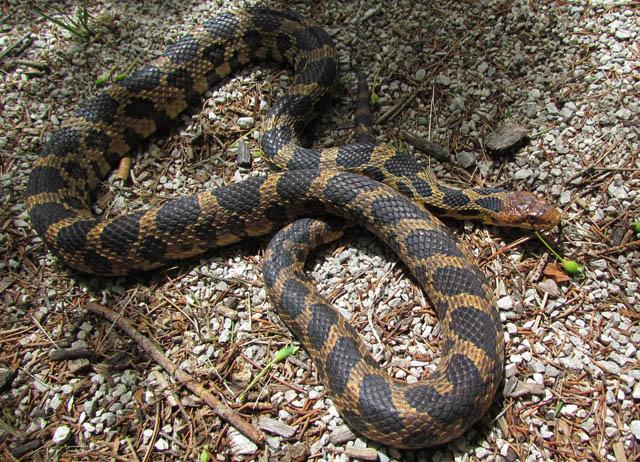 Eastern Fox Snake_6550