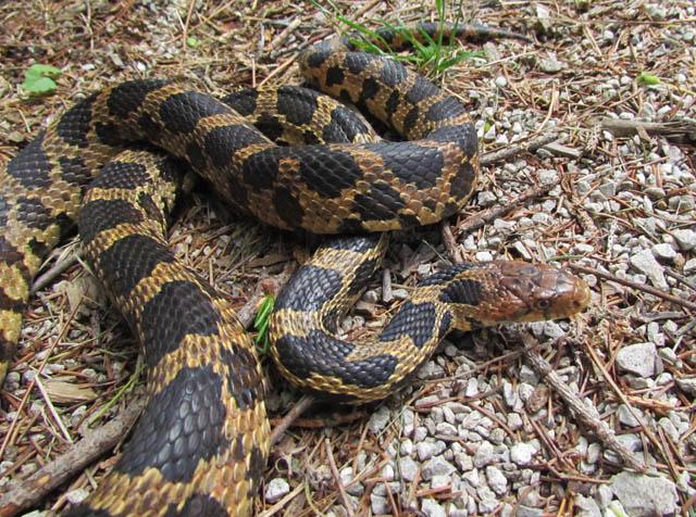 Eastern Fox Snake_6561