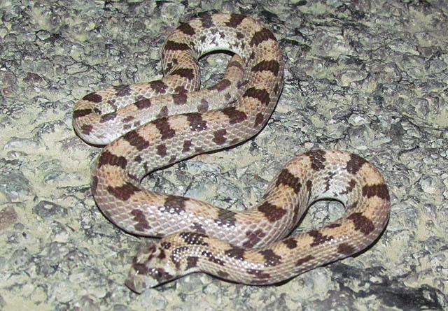Spotted Leafnose Snake_7801