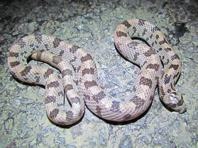 Spotted Leafnose Snake_7809