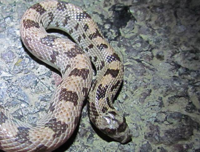 Spotted Leafnose Snake_7811