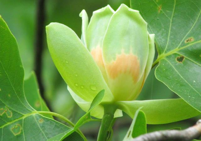 Tuliptree_5804