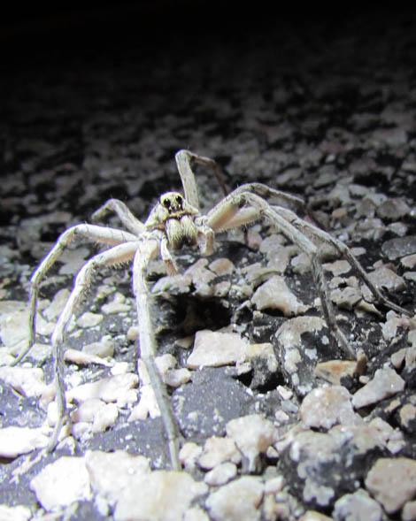 Wolf Spider_8035