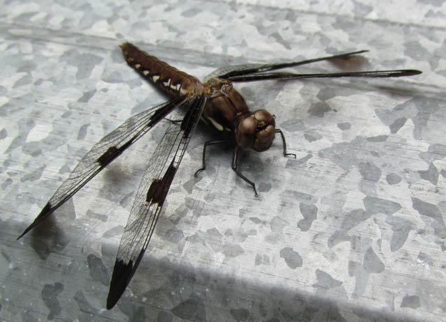 Common Whitetail (female)_9719