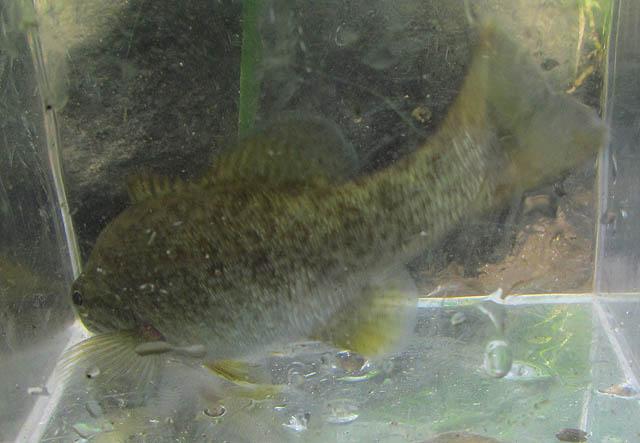 Smallmouth Bass_9114