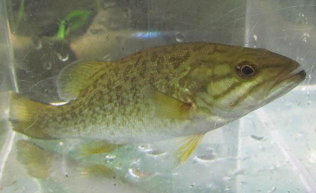Smallmouth Bass_9123