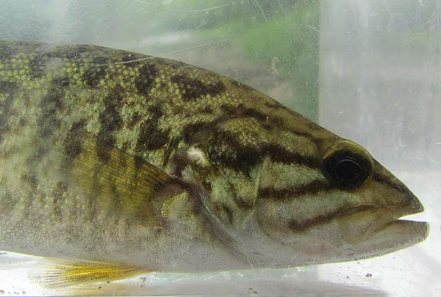 Smallmouth Bass_9137