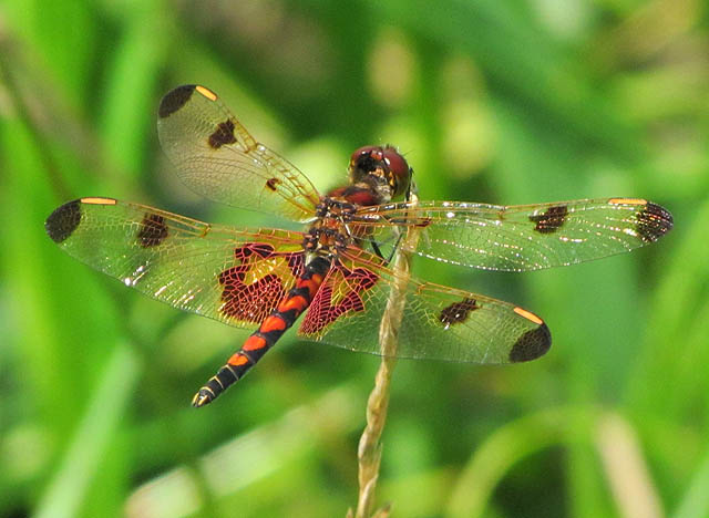 calico pennant_0810