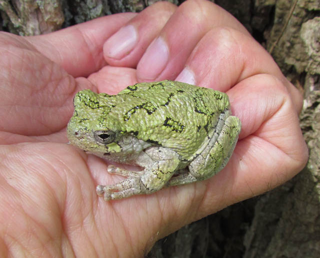 gray treefrog_3583