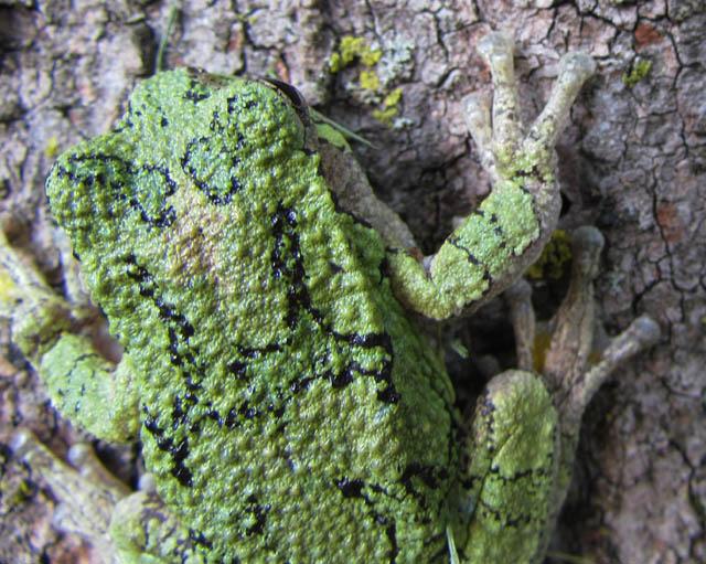 gray treefrog_3986