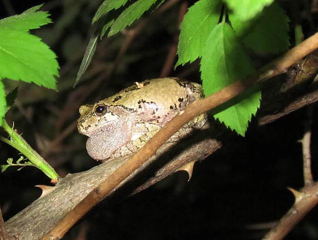 greytreefrog