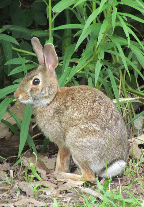 cottontail_2531