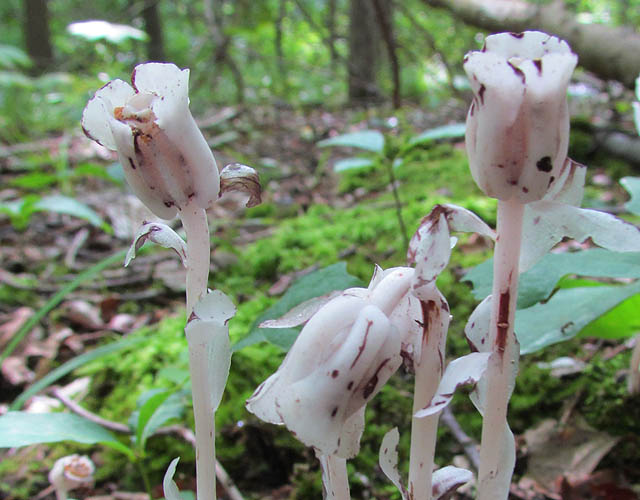 indian pipe_0463