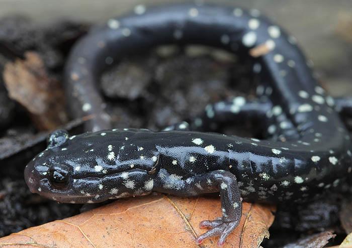 slimy salamander_0931