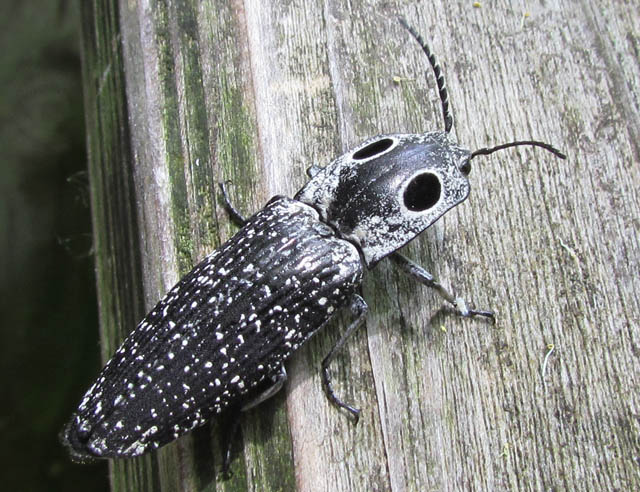 Eyed Click Beetle_6478