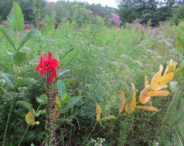cardinal flower_08_27 012