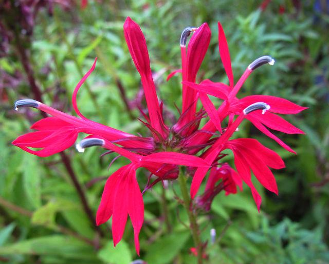 cardinal flower_08_27 029