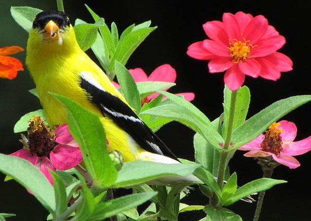 goldfinch_1055