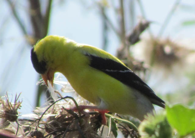 goldfinch_2930