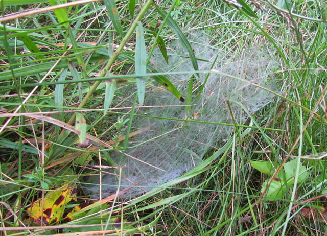 grass spider_4579