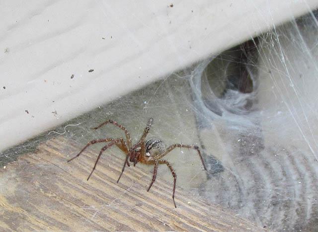 grass spider_4712