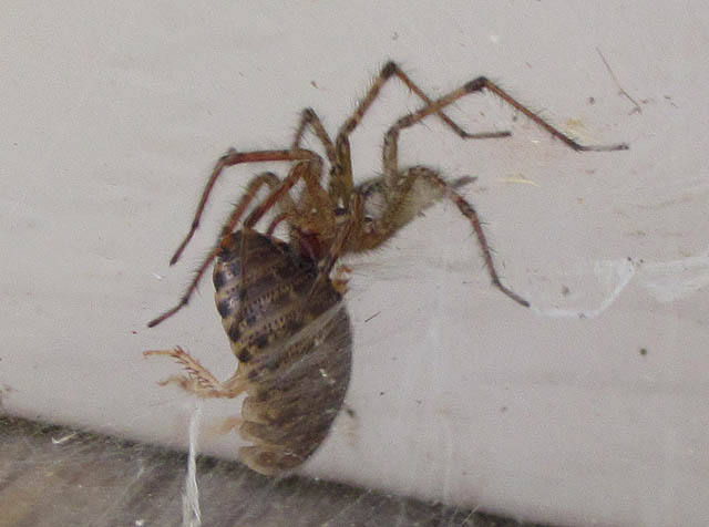 grass spider_4718