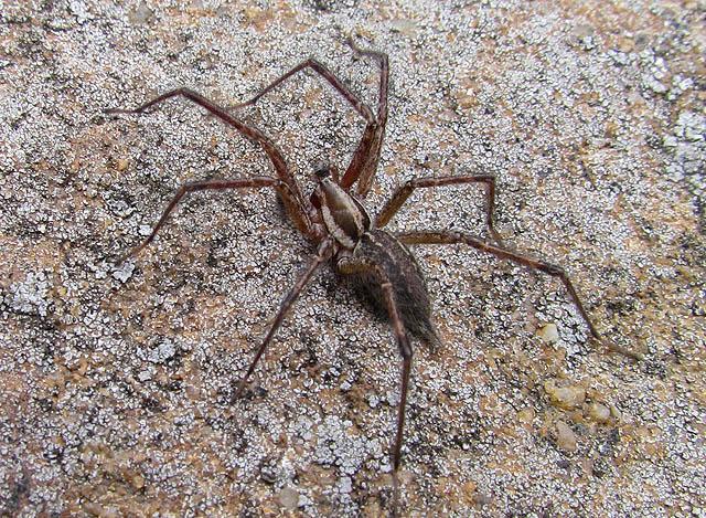 grass spider_4914