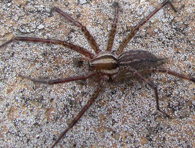 grass spider_4918