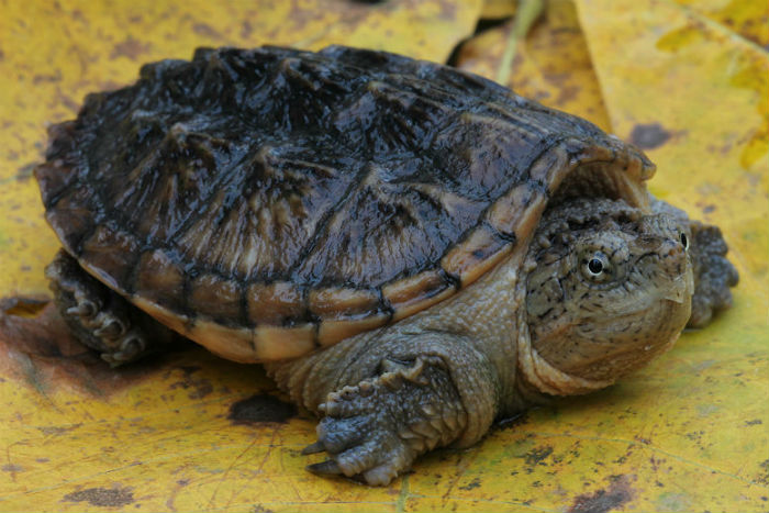 2 snapping turtle_2468
