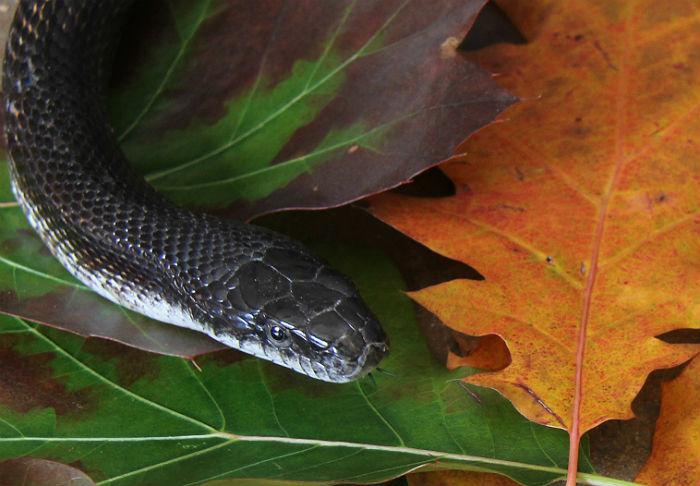 3 black rat snake 003