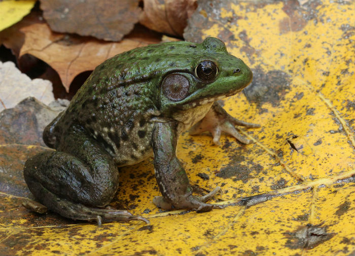 4 green frog_10_20 078