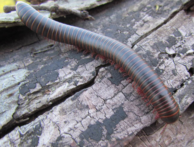 American Giant Millipede_3039