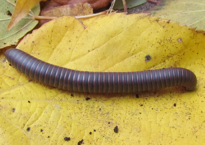 American Giant Millipede_7199