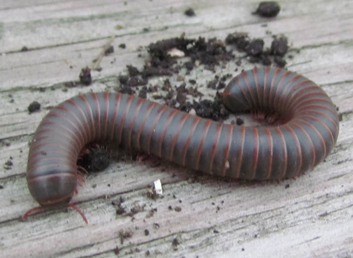 American Giant Millipede_7514