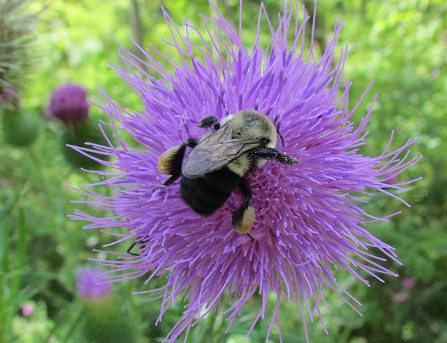 bumblebee_4337